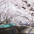 近所の桜を観てきました
